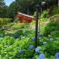 "Flower viewing in June! Hydrangea temple ""Mimuroto-ji Temple"""